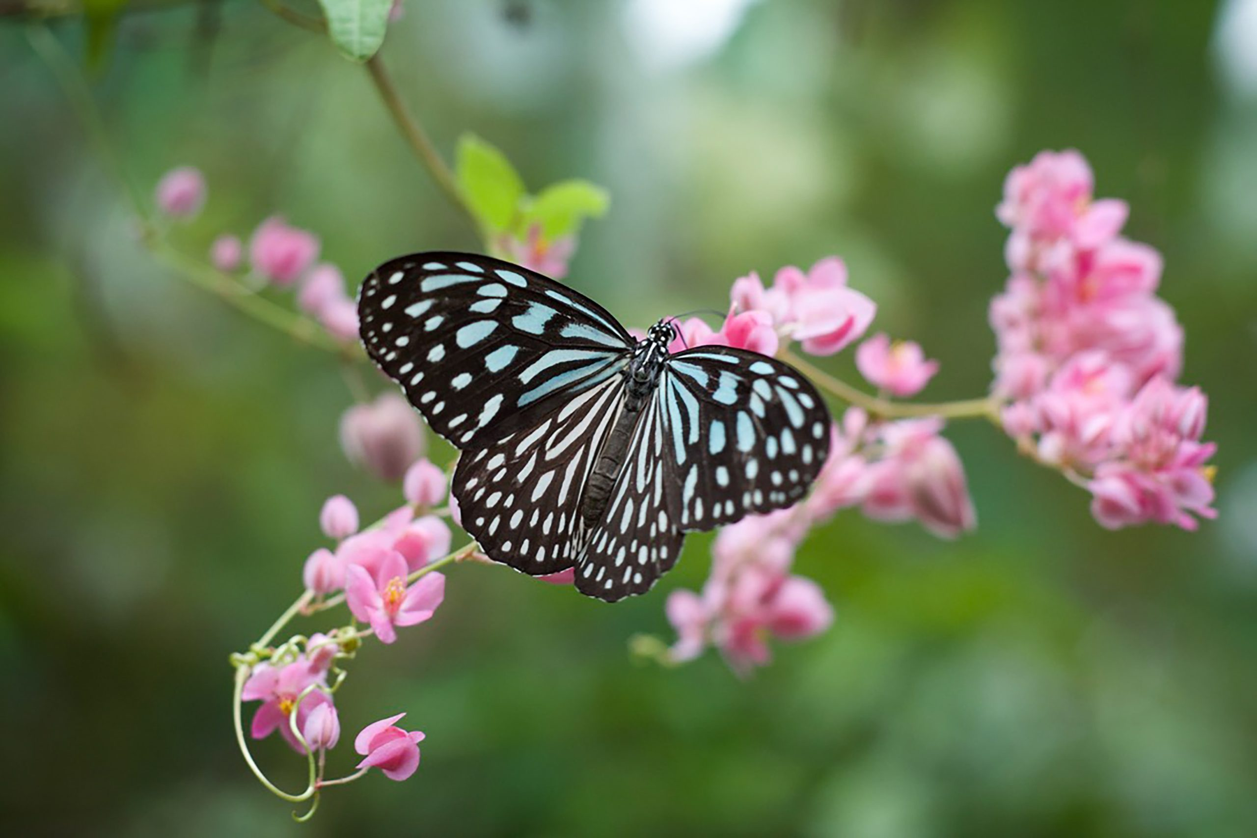 the thyroid is often called the butterfly gland